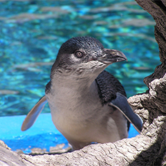 the distinct characteristics of a penguin There are many different types of penguins, all being unique and having their own characteristics one such type is the african penguin the african penguin is also more commonly knowns as the black-footed penguin with good reason, it has a black foot.