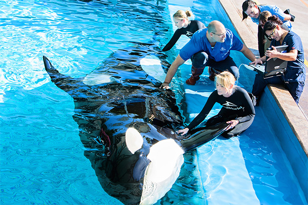orca whales captive or free Orca whales, sea animals, marine parks - captive orcas killer whales.