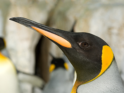 10 Things You Never Knew About Penguins  One Green Planet