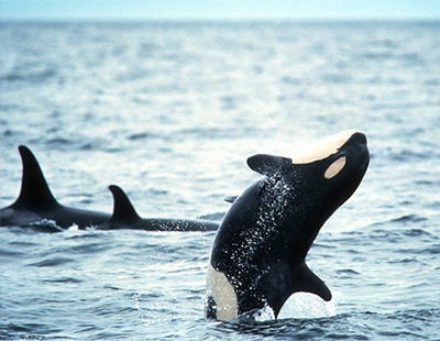 the scientific classification habitat and distribution of killer whales Southern resident killer whale critical habitat now consider the existence of multiple species or subspecies of killer whales distribution, abundance.