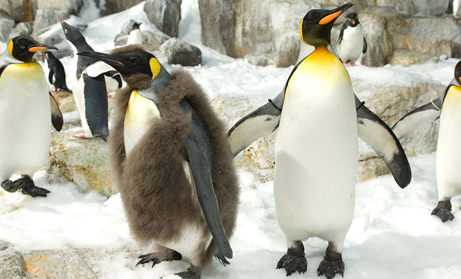 King Penguin molt