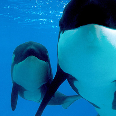 KILLER WHALES (Orcinus orca) - Animal InfoBook