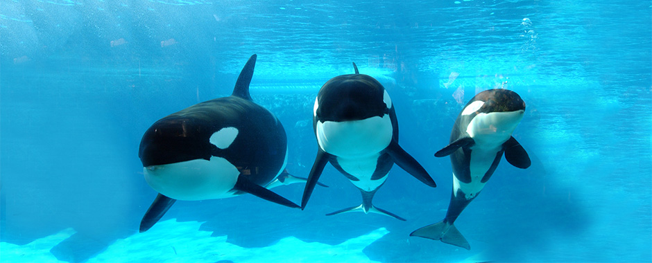 Killer Whales Orcinus Orca Reproduction