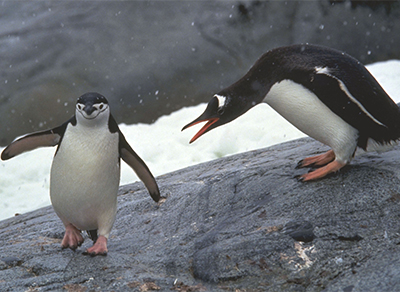 Gentoo and Chinstrap penguin